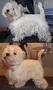 Тримминг собак,  стрижка- Вест Хайленд Вайт Терьер,  West Highland White Terrier,