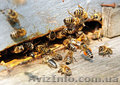 Пчёлы.Пчелиные плодные матки.Карпатка