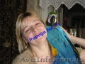 Говорящий синежелтый ара.