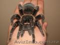 Продам паука птицееда Lasiodora parahybana один из самых крупных видов