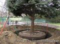 Посадка деревьев (крупномеров)