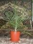 финиковая пальма 15 лет