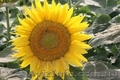 Соняшникове насіння класичного ранньостиглого гібриду «Заграва»