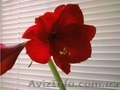 Продам лилию валлоту прекрасную (пурпурную)