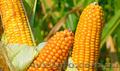 Посівний матеріал кукурудзи ГРАН 5 (ФАО270)