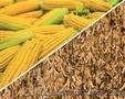 Амарок гібрид кукурудзи