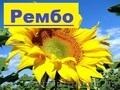 Пропонуємо насіння соняшнику Рембо