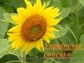 Соняшник Українське сонечко (90-95 дн)