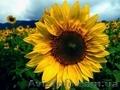 «ГРАН» пропонує насіння соняшника «Атілла» (95-100дн.) ультраранній гібрид