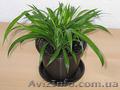 Хлорофитум зеленый взрослые растения