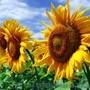 Бенето гібрид соняшнику