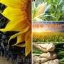 Якісне насіння соняшнику від виробника