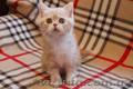 Клубные котята шотландской породы.