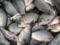 Продам оптом речную рыбу Продам оптом ставковую рыбу