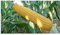 Онікс (ФАО 350) - насіння кукурудзи  (якісне насіння + доставка за наш рахунок)