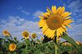 Насіння соняшнику Рембо (румунська селекція)