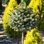 хвойные и декоративно лиственные растения